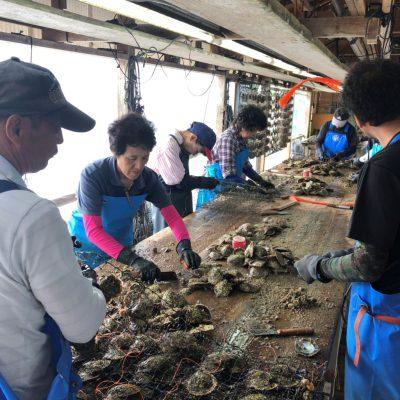 母貝の洗浄の風景